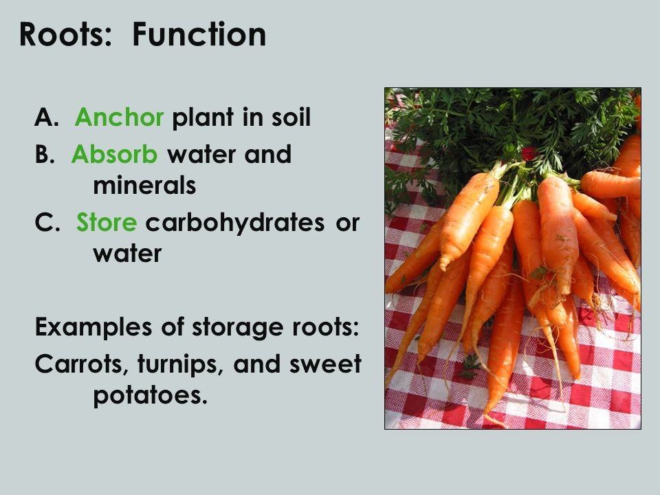 Roots: Function A. Anchor plant in soil B. Absorb water and minerals