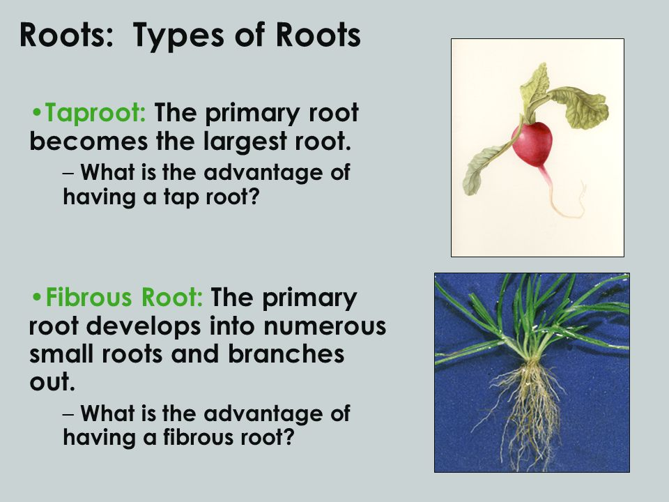 Roots: Types of Roots Taproot: The primary root becomes the largest root. What is the advantage of having a tap root