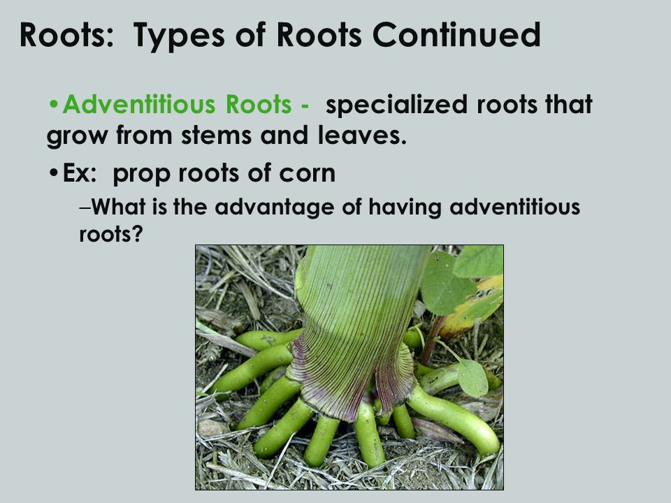 Roots: Types of Roots Continued