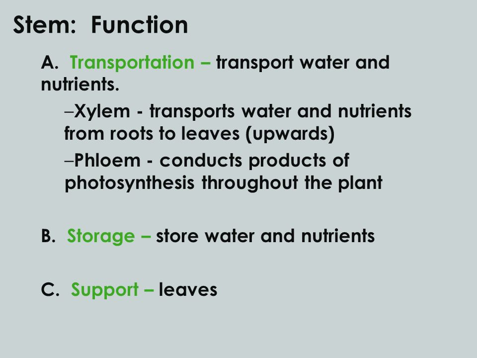 Stem: Function A. Transportation – transport water and nutrients.