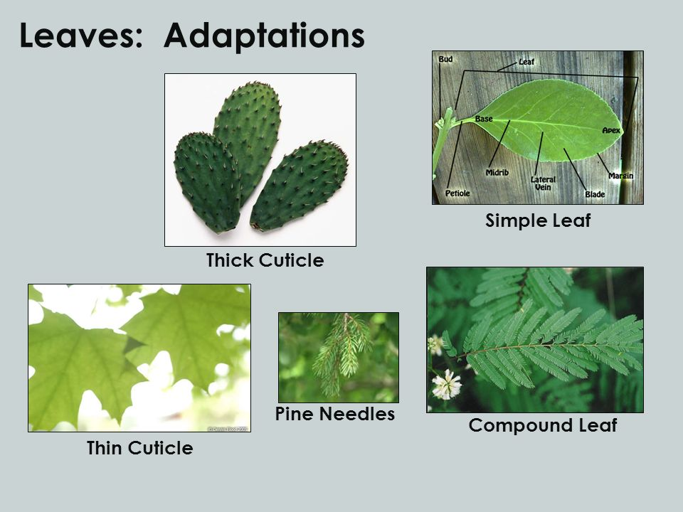 Leaves: Adaptations Simple Leaf Thick Cuticle Pine Needles