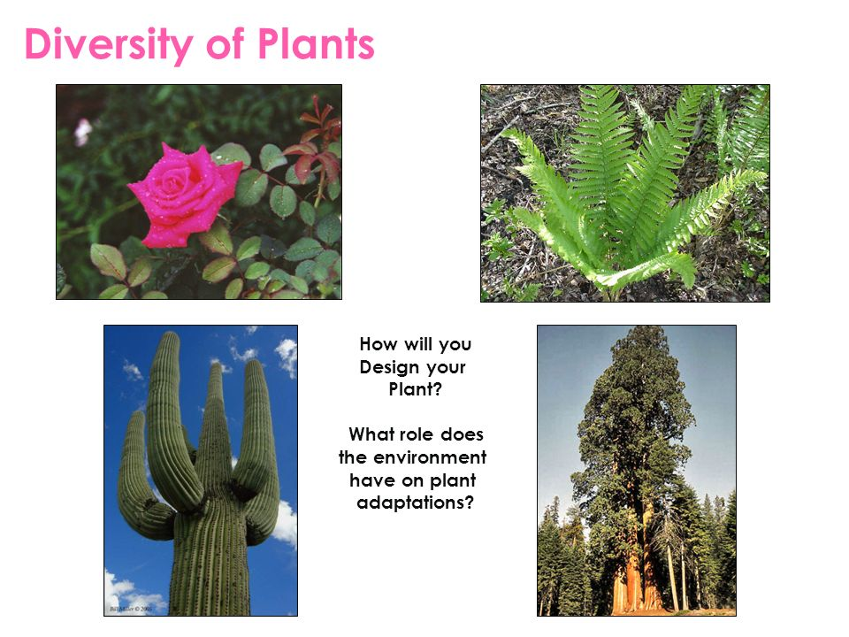 Diversity of Plants How will you Design your Plant What role does