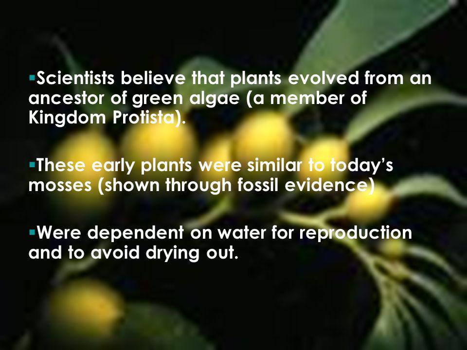 Scientists believe that plants evolved from an ancestor of green algae (a member of Kingdom Protista).