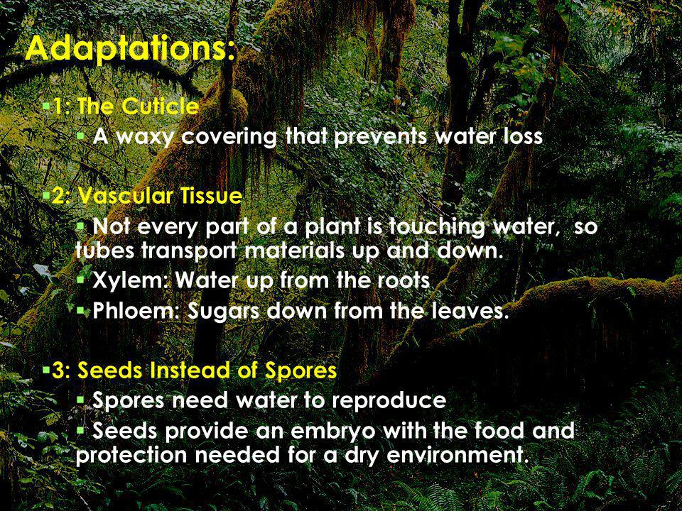 Adaptations: 1: The Cuticle A waxy covering that prevents water loss