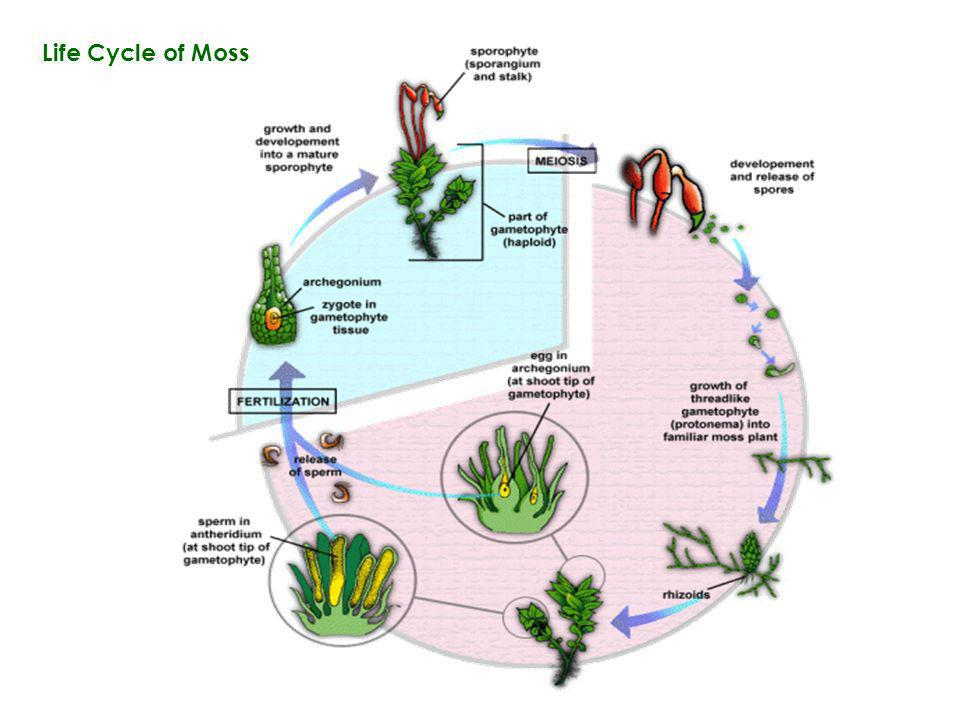 Life Cycle of Moss