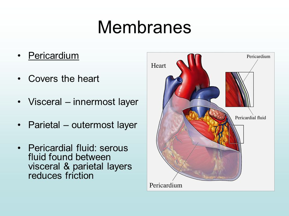 Chest Cavity moreover 6943330 furthermore Adventitia as well 5130857 besides Heart. on heart of the serous covering wall
