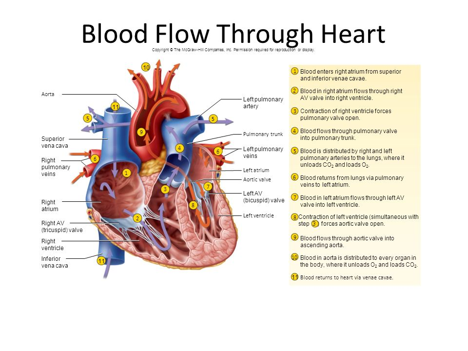 Ch 19 the heart ppt video online download blood flow through heart ccuart Image collections
