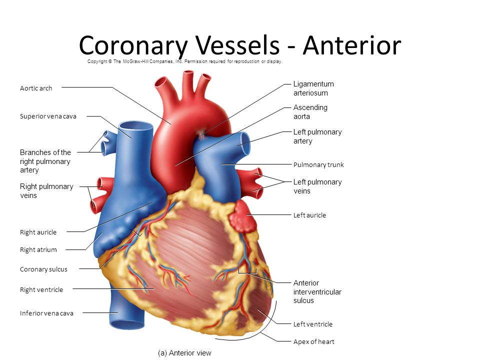 Magnificent Coronary Artery Distribution Anatomy Component - Human ...