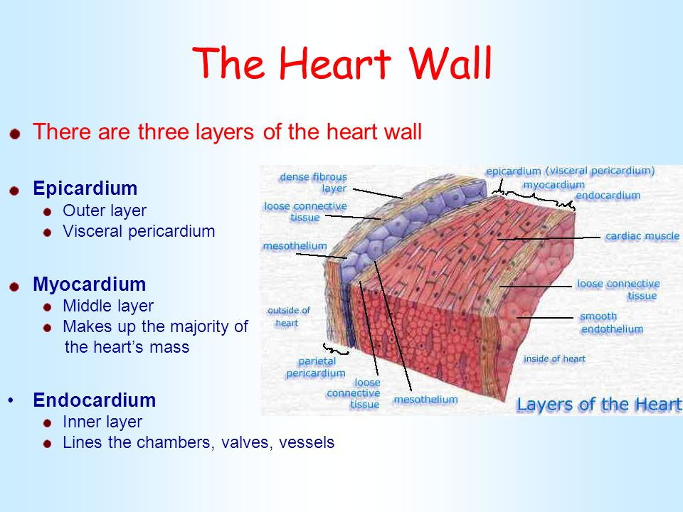 Cardio system heart anatomy ppt video online download the heart wall there are three layers of the heart wall epicardium ccuart Image collections