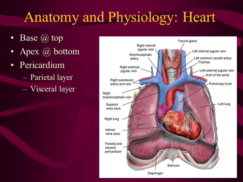 Erfreut Anatomy And Physiology Of Heart And Lungs Bilder ...