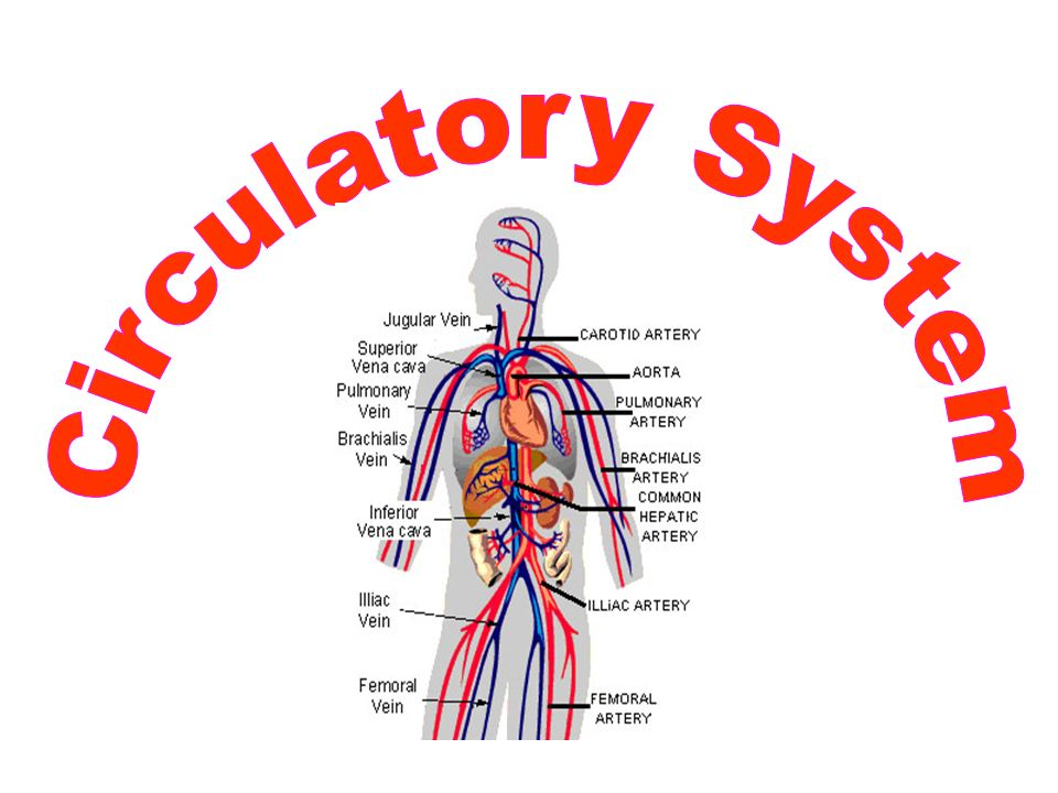Science Inspiration: The Human Circulatory System