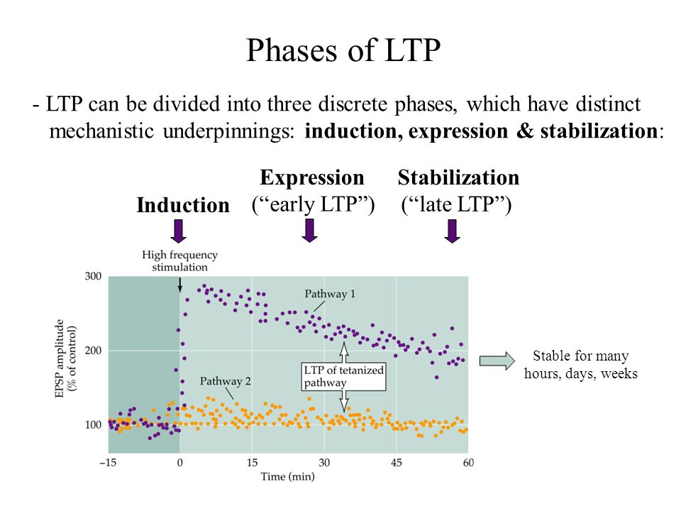 Phases of LTP - LTP can be divided into three discrete phases, which have distinct.