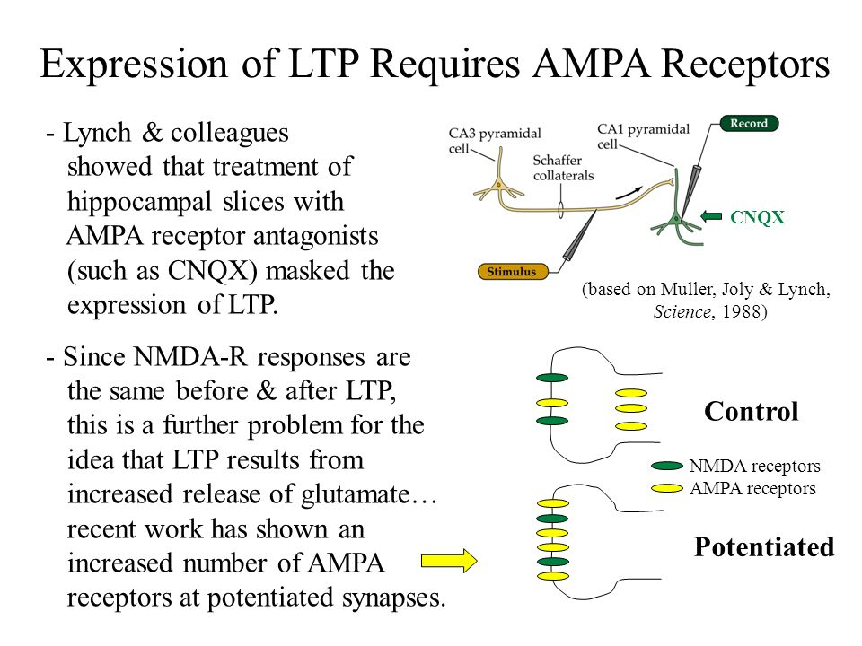 Expression of LTP Requires AMPA Receptors