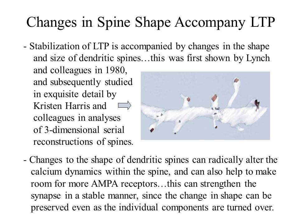 Changes in Spine Shape Accompany LTP
