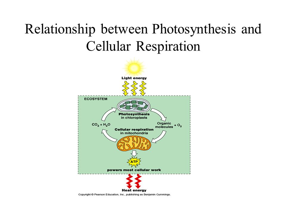 AP Bio Lab 5 - Cellular Respiration
