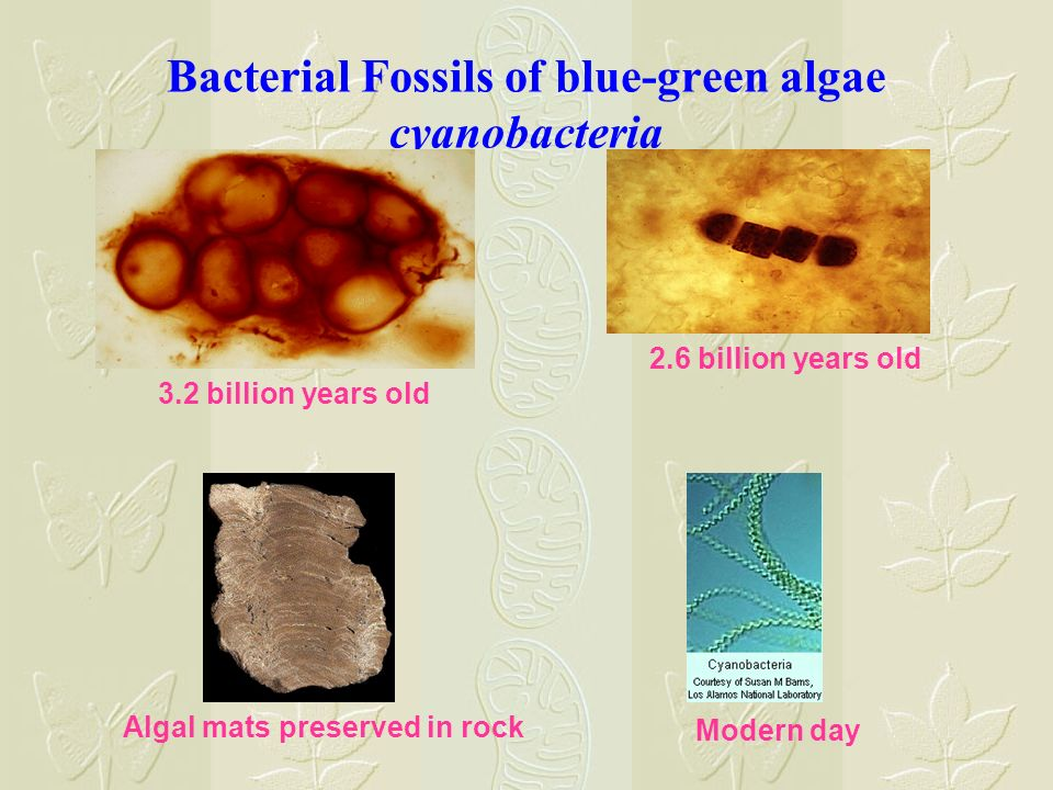 Bacterial Fossils of blue-green algae cyanobacteria