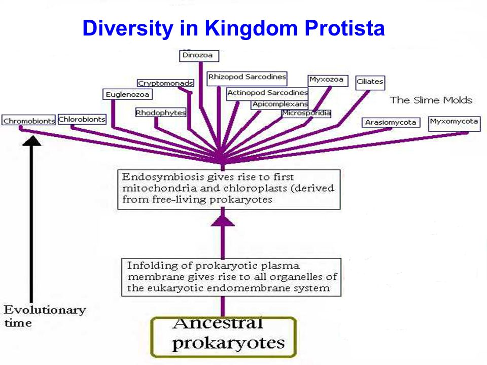 Diversity in Kingdom Protista