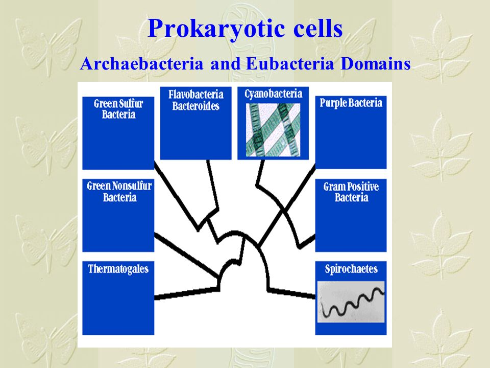 Prokaryotic cells Archaebacteria and Eubacteria Domains