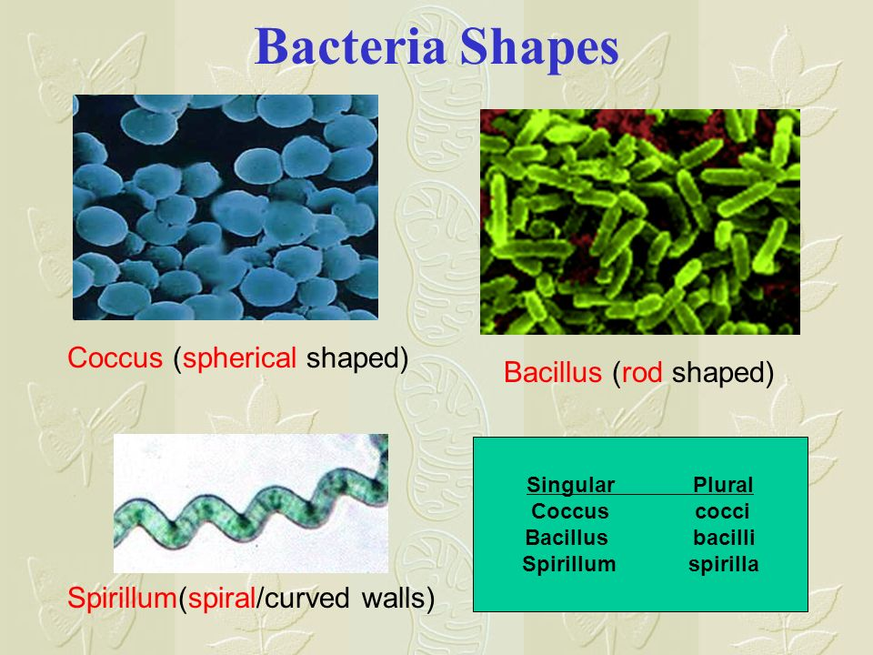Bacteria Shapes Coccus (spherical shaped) Bacillus (rod shaped)