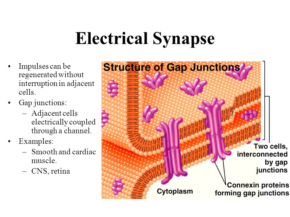 Electrical Synapse Impulses can be regenerated without interruption in adjacent cells. Gap junctions: