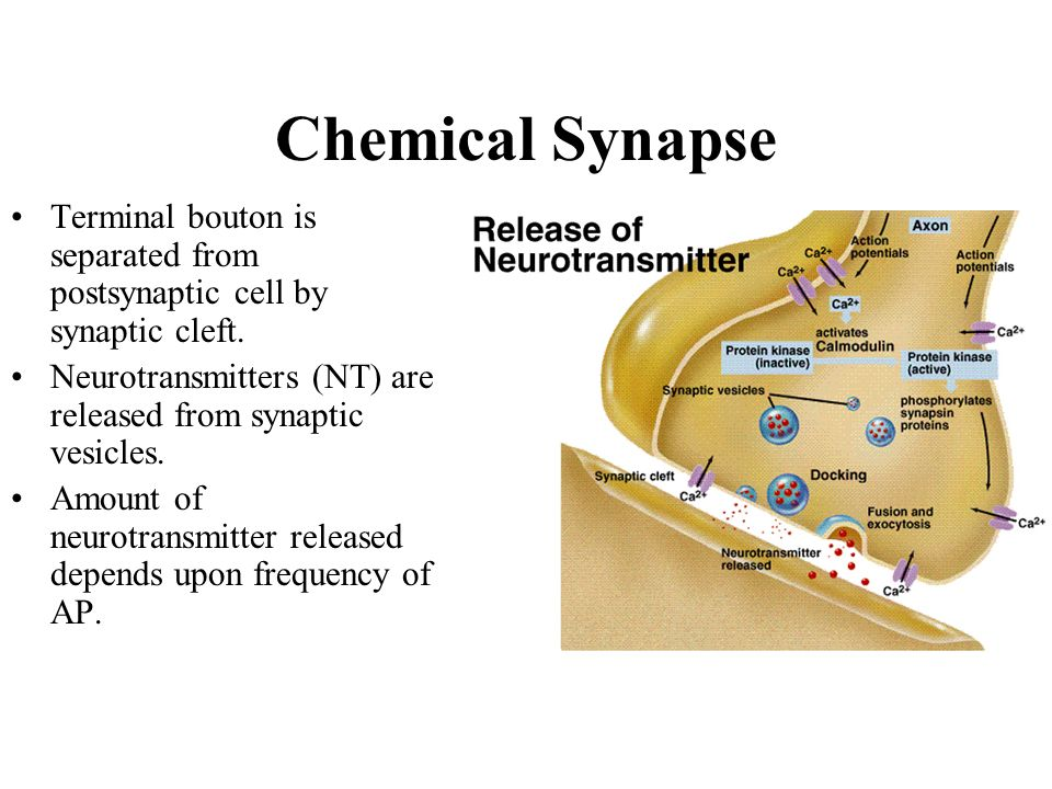 Chemical Synapse Terminal bouton is separated from postsynaptic cell by synaptic cleft. Neurotransmitters (NT) are released from synaptic vesicles.