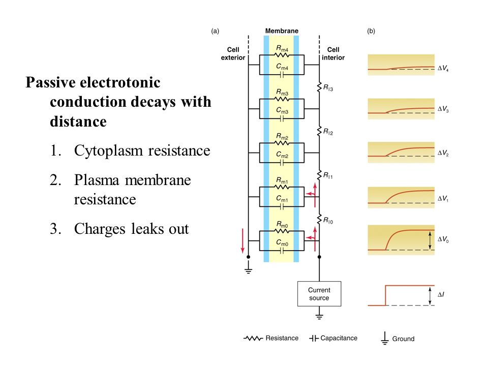 Passive electrotonic conduction decays with distance