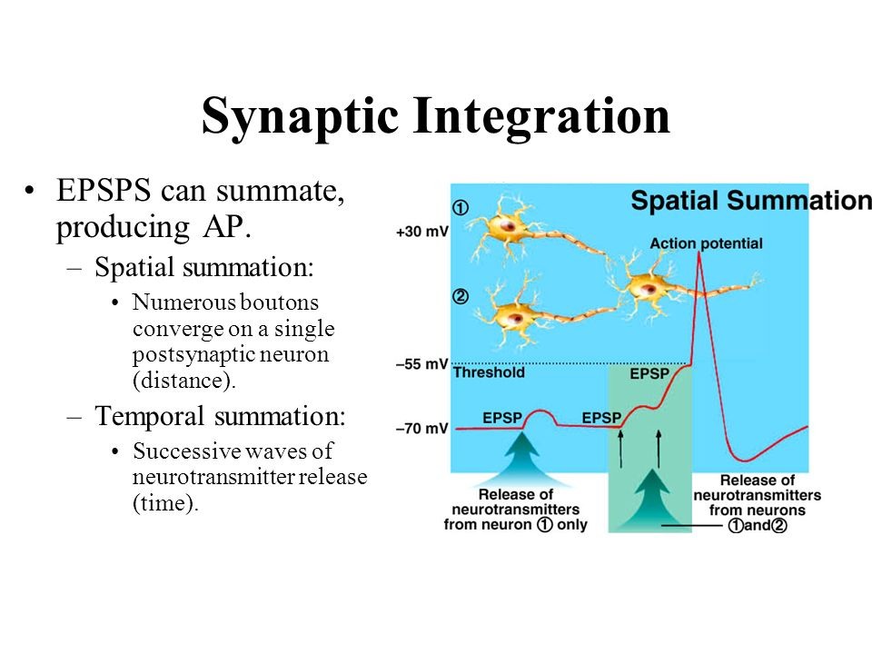 Synaptic Integration EPSPS can summate, producing AP.