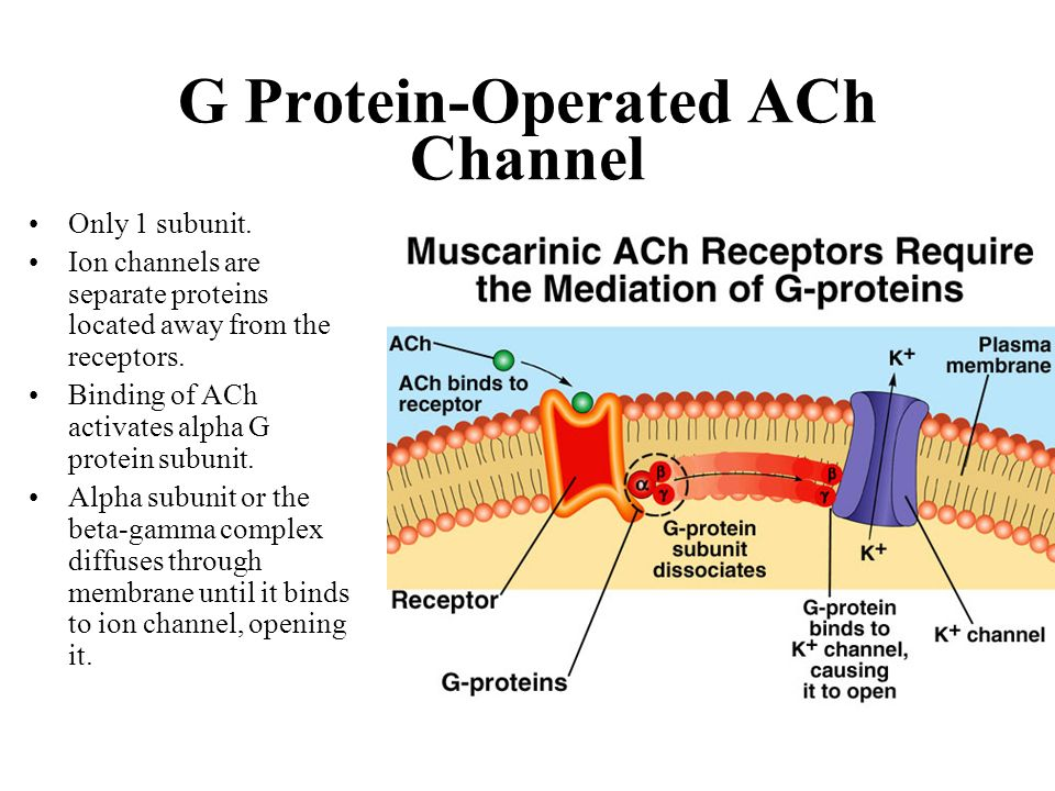G Protein-Operated ACh Channel
