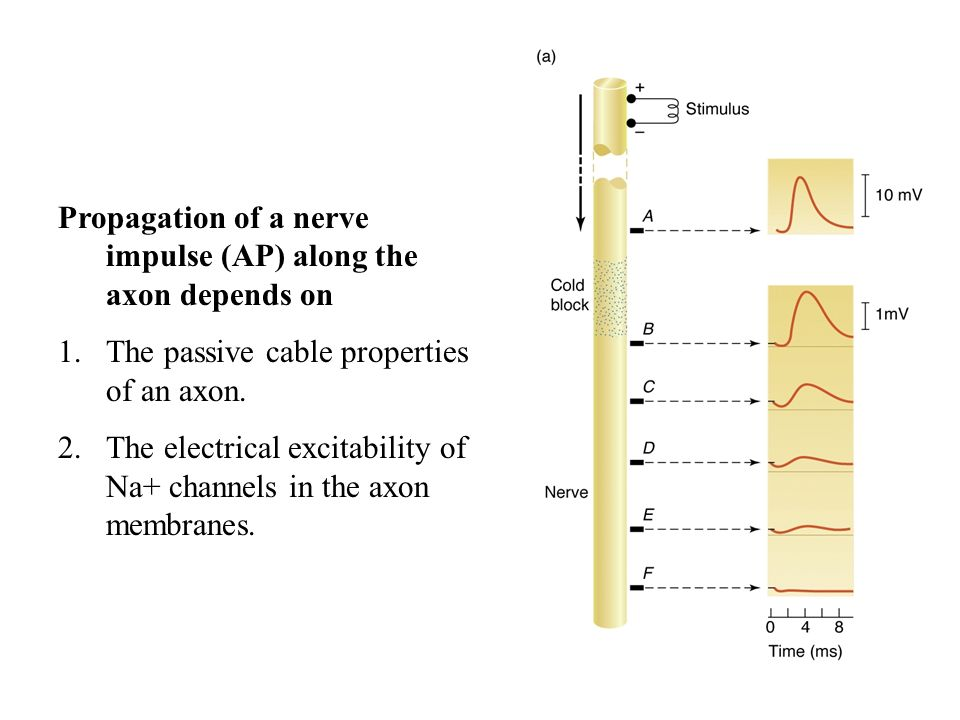 Propagation of a nerve impulse (AP) along the axon depends on
