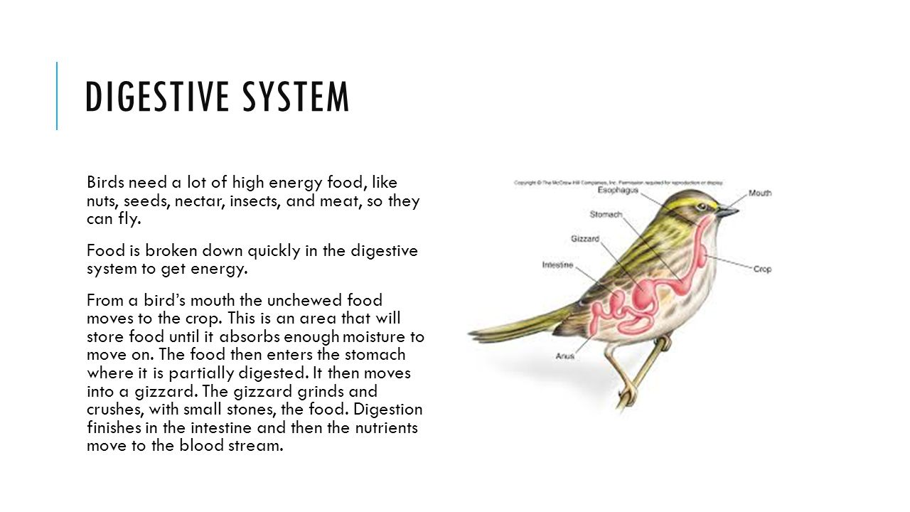 digestive system of birds High metabolic rates require large amounts of fuel digestive system needs to be  as light as possible and effective problem for birds – need to keep low body.