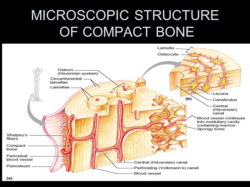 Microscopic anatomy of compact bone