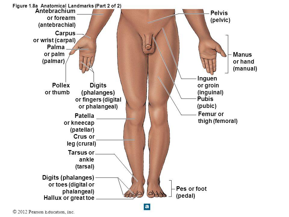 Luxury Anatomy Of The Toes Illustration - Anatomy Ideas - yunoki.info