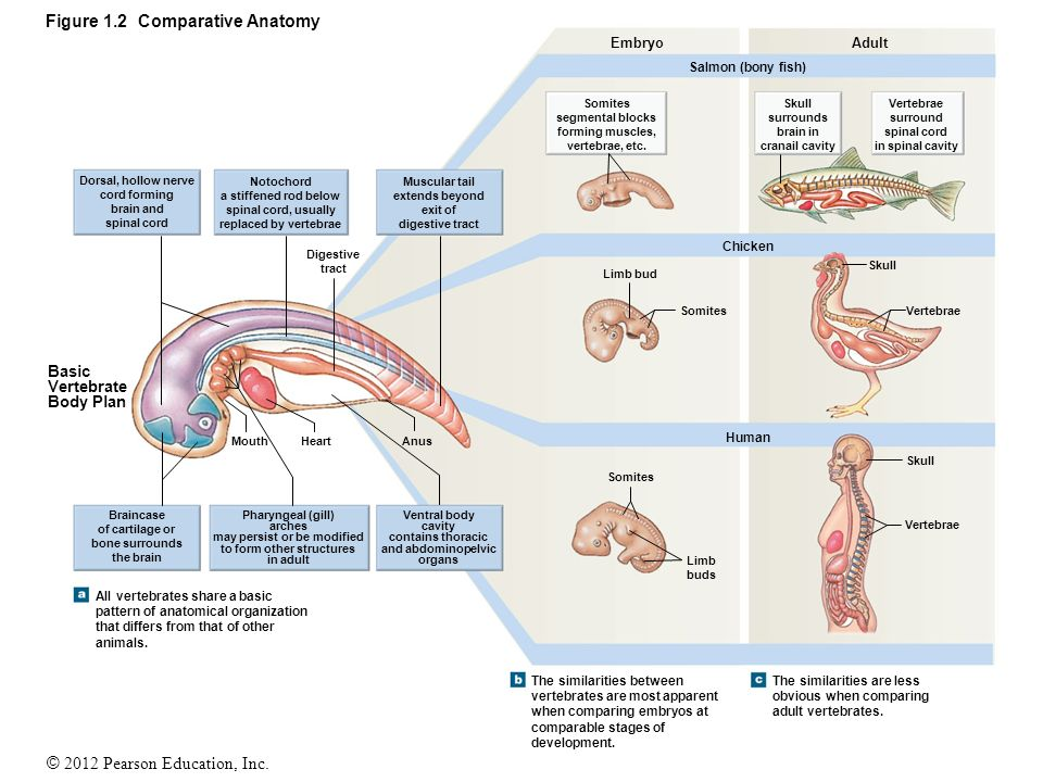 Comparative Anatomy Biology Images - human body anatomy