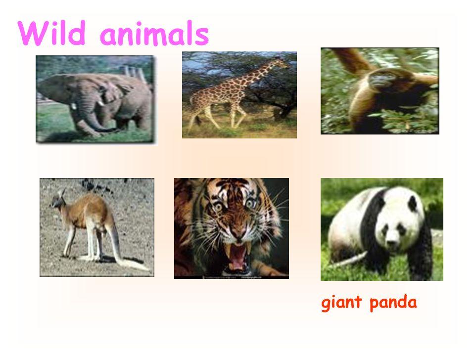 Wild animals giant panda