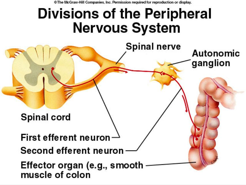 Erfreut Anatomy And Physiology Seeley Ideen - Menschliche Anatomie ...