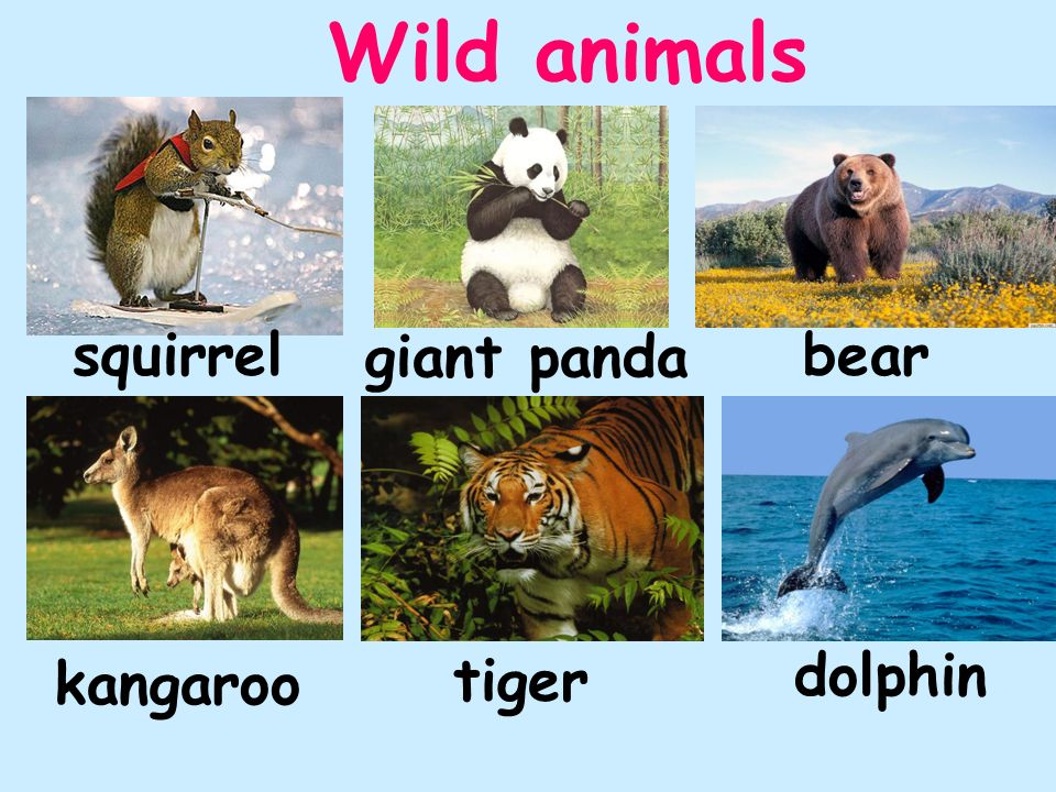 Wild animals squirrel giant panda bear dolphin kangaroo tiger