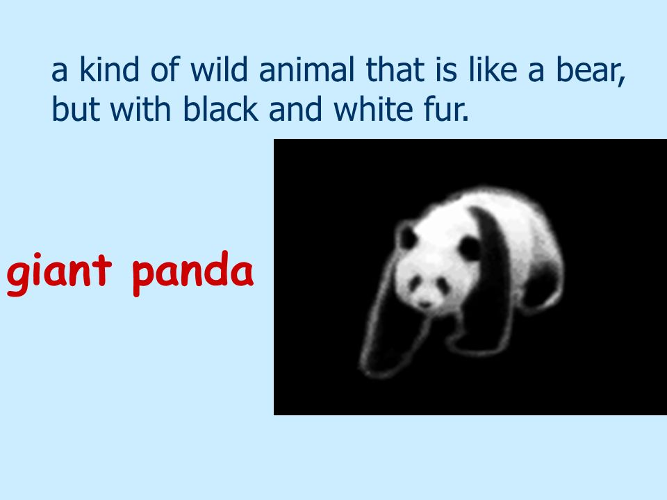 a kind of wild animal that is like a bear, but with black and white fur.