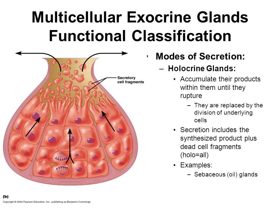 exocrine glands The endocrine system,  exocrine glands have ducts that carry their secretory product to a surface these glands include the sweat, sebaceous,.