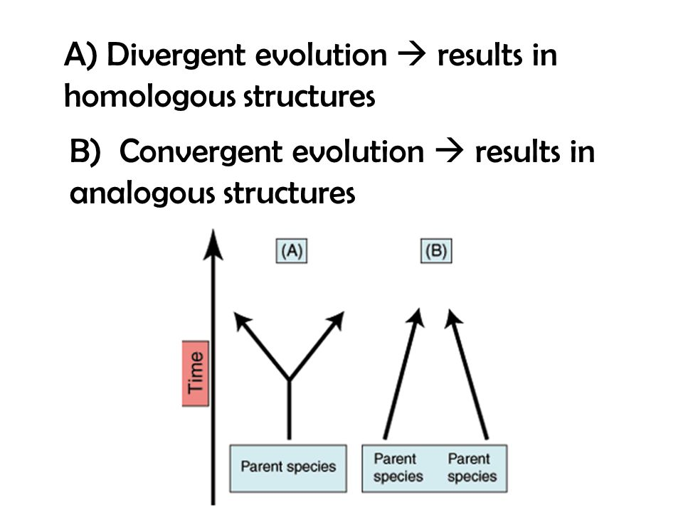 relationship between divergent evolution and homologous structures