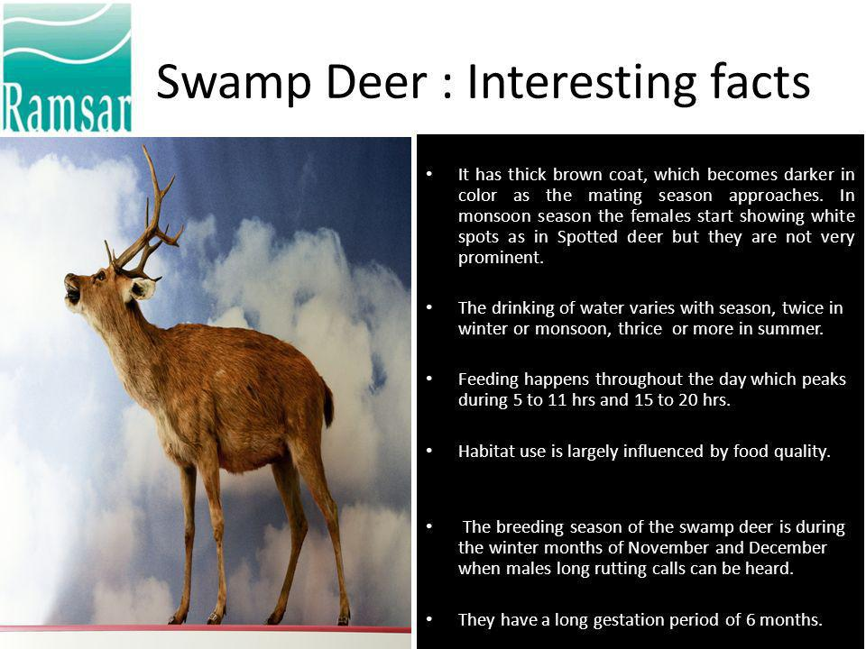 Swamp Deer : Interesting facts