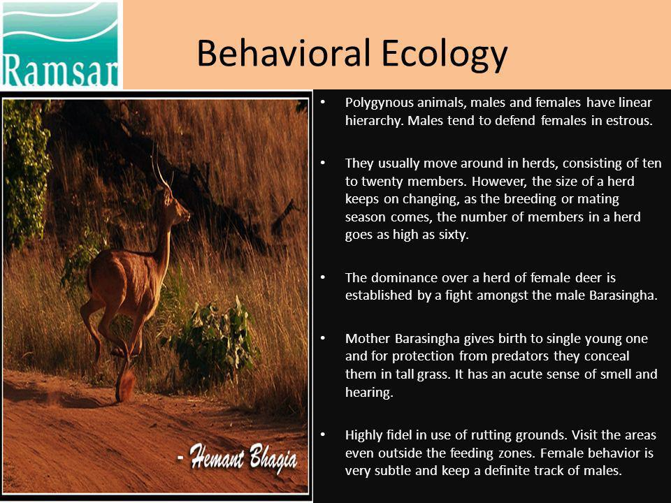 Behavioral Ecology Polygynous animals, males and females have linear hierarchy. Males tend to defend females in estrous.