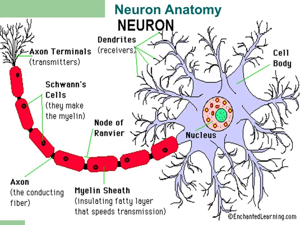 Exelent Neuron Anatomy Activity Images - Anatomy And Physiology ...