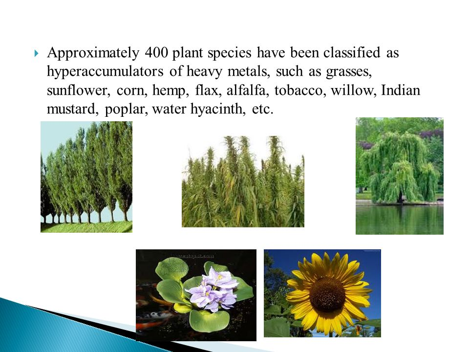 Approximately 400 plant species have been classified as hyperaccumulators of heavy metals, such as grasses, sunflower, corn, hemp, flax, alfalfa, tobacco, willow, Indian mustard, poplar, water hyacinth, etc.