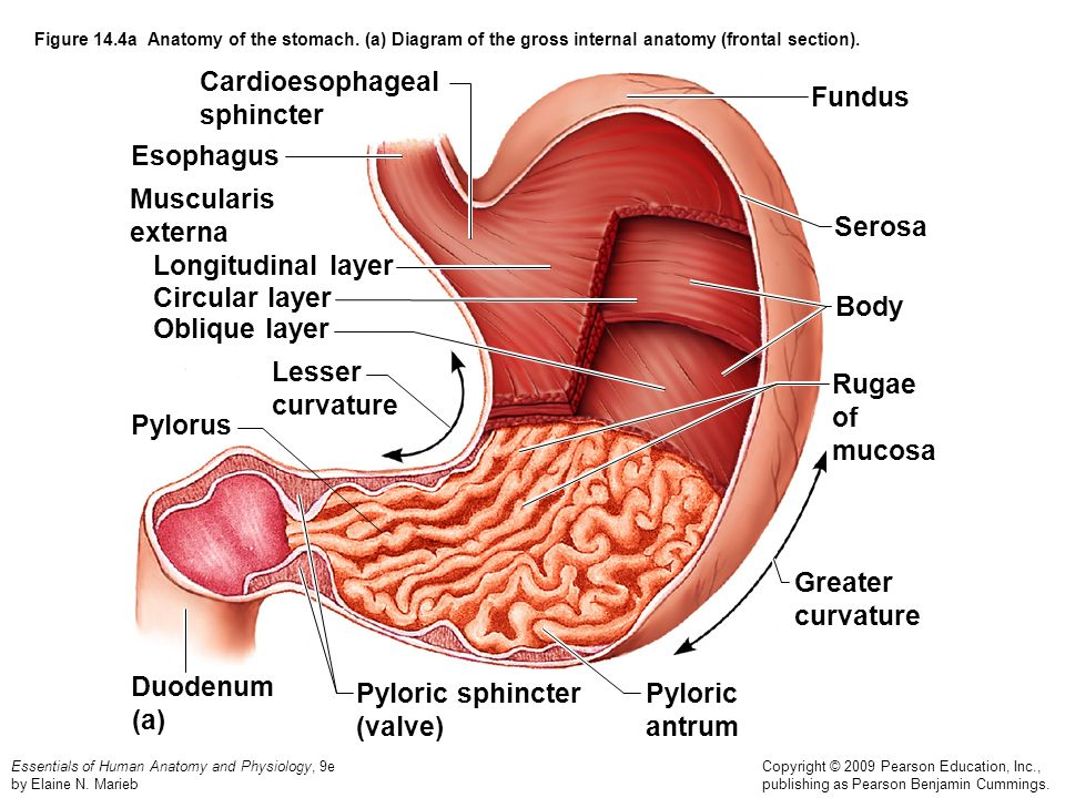 Figure 141 The Human Digestive System Alimentary Canal And