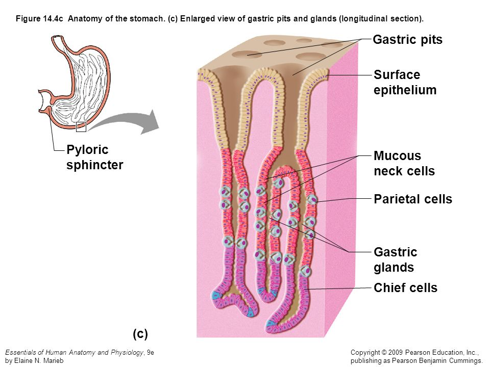 Gastric pits Surface epithelium Pyloric Mucous sphincter neck cells
