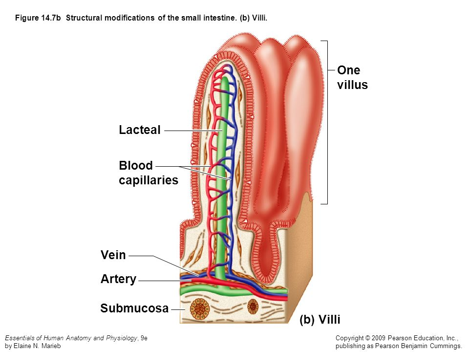 One villus Lacteal Blood capillaries Vein Artery Submucosa (b) Villi