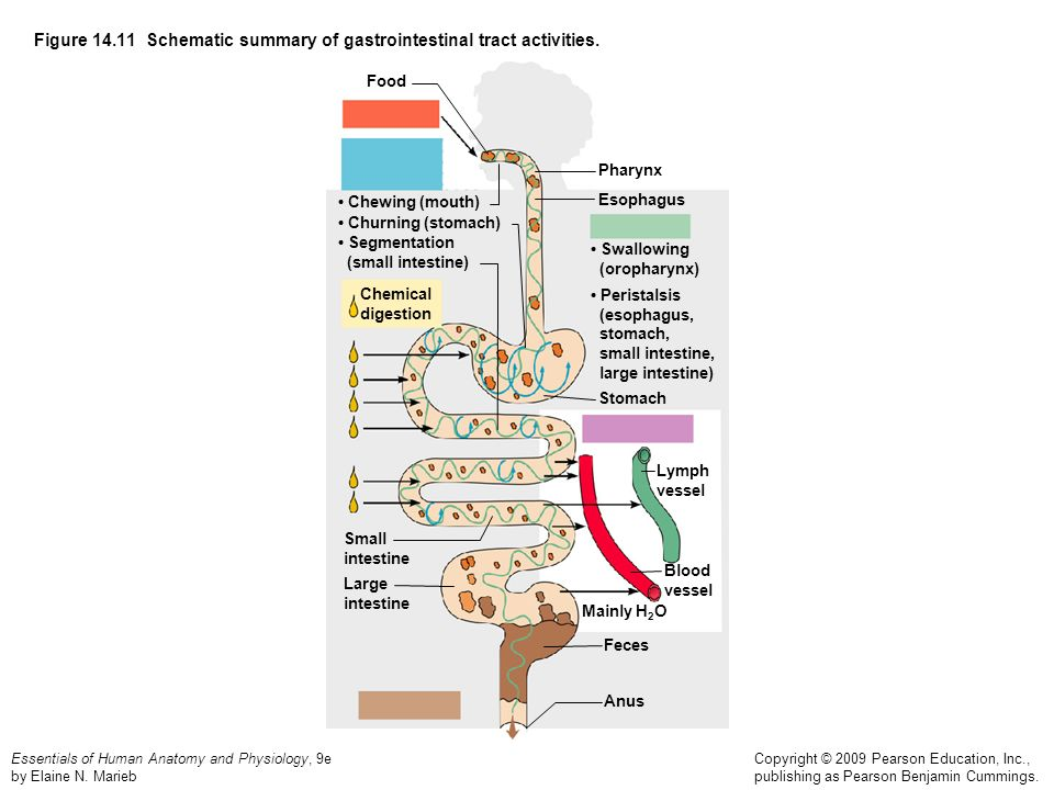 Figure Schematic summary of gastrointestinal tract activities.
