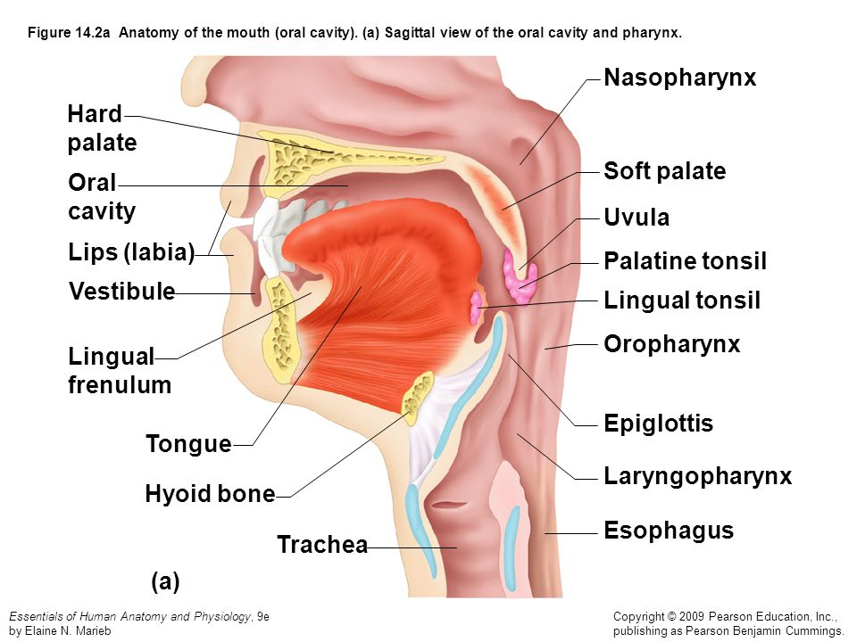 Nasopharynx Hard palate Soft palate Oral cavity Uvula Lips (labia)
