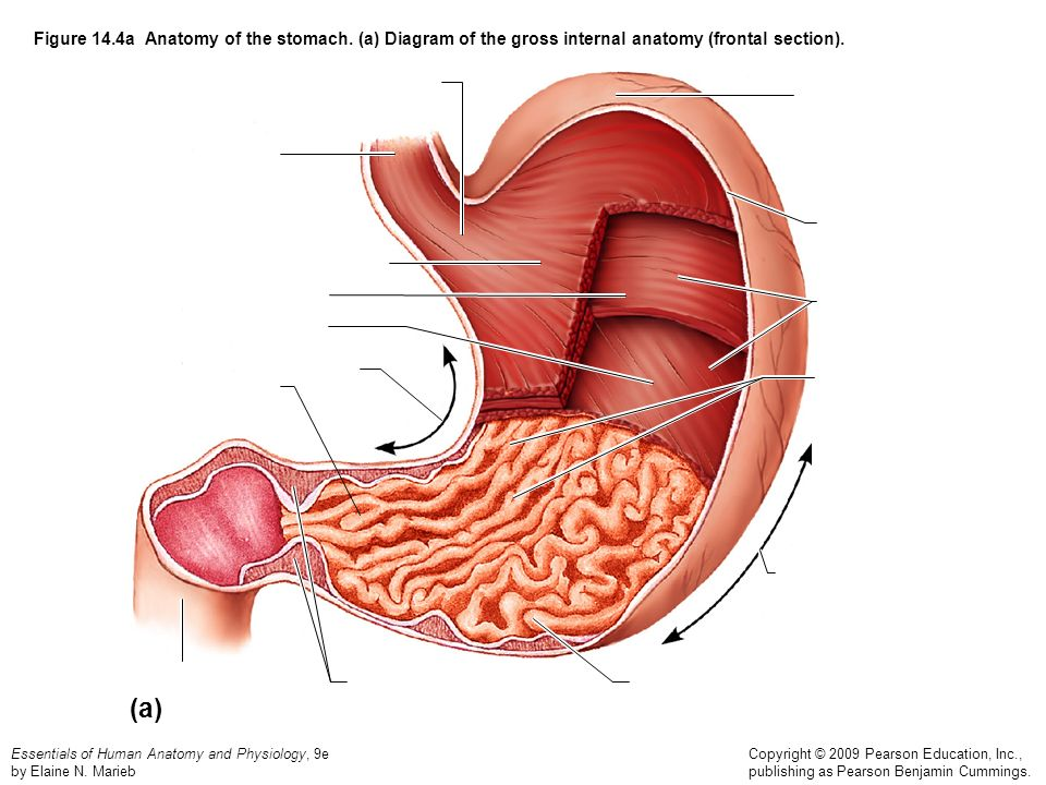 Figure 14. 4a Anatomy of the stomach