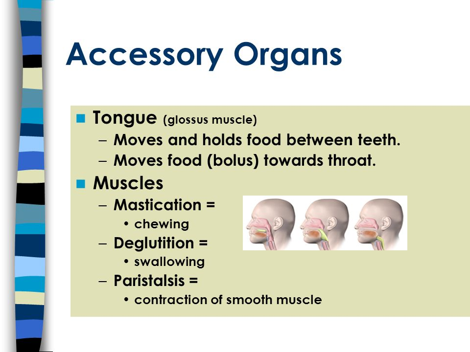 Accessory Organs Tongue (glossus muscle) Muscles
